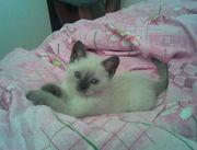 Сиамский котенок !