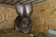Кролики Бельгийский великан, Фландр,  Обр, Ризен