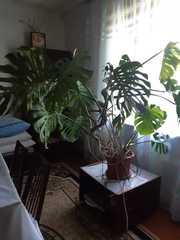 Монстера- красивое комнатное растение,  прекрасно украсит ваш дом или о